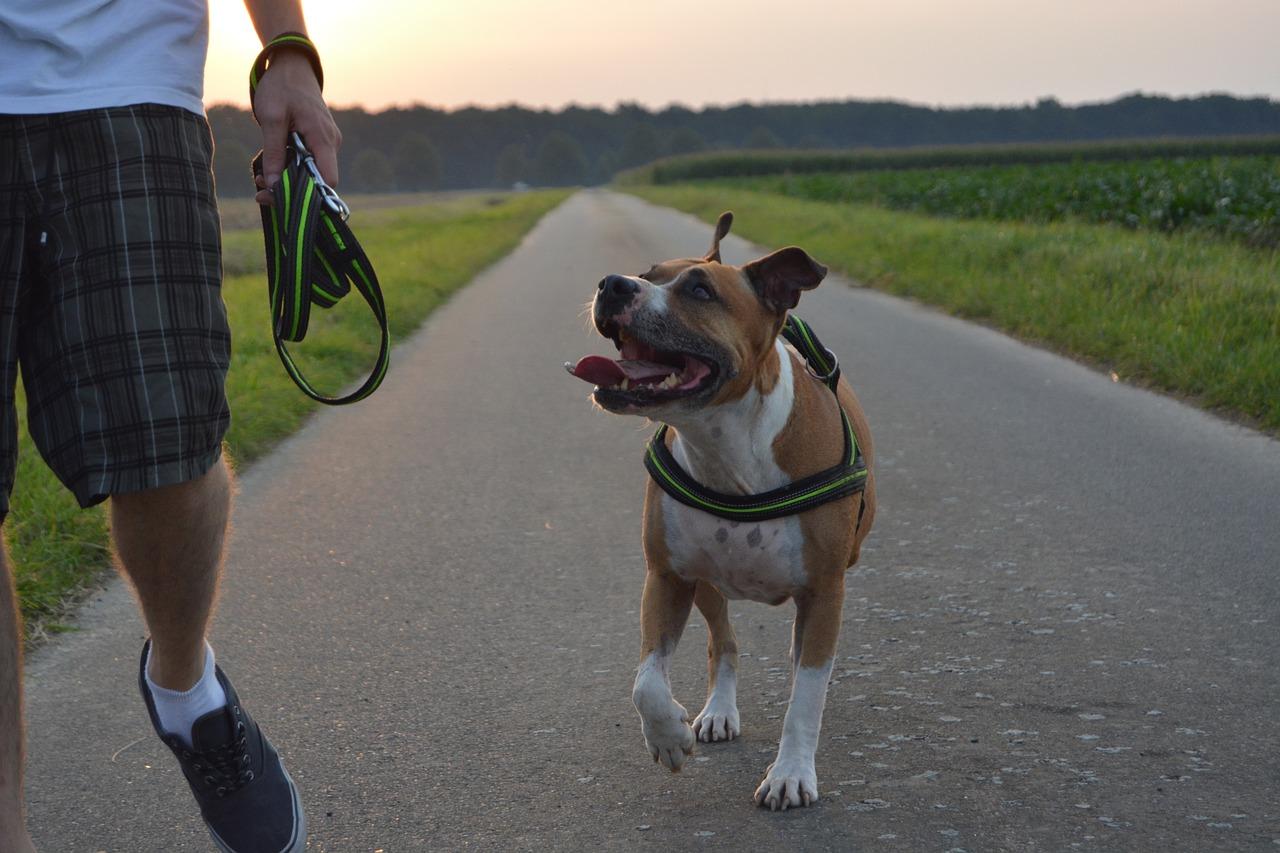 dog, pitbull, amstaff