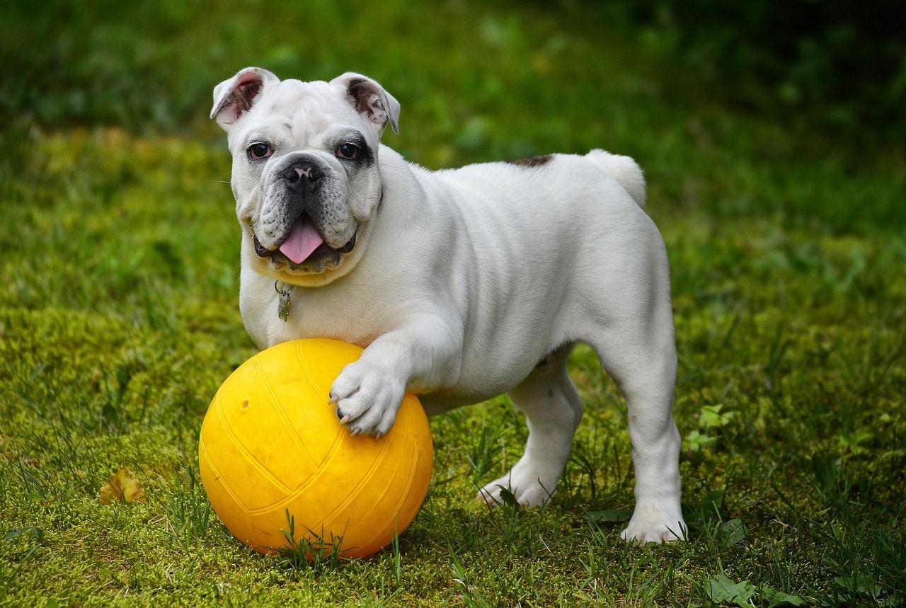 english bulldog, bulldog, dog
