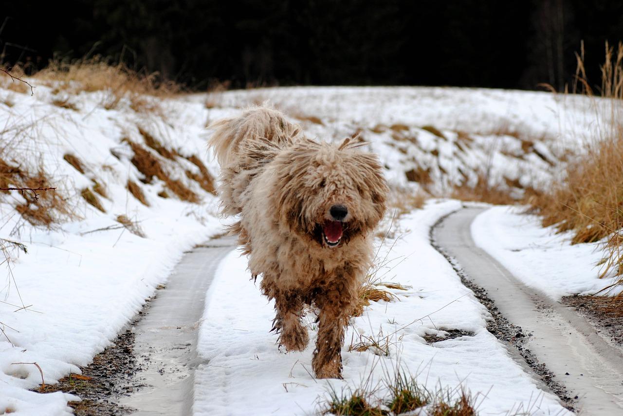 komondor, dog, guard dog