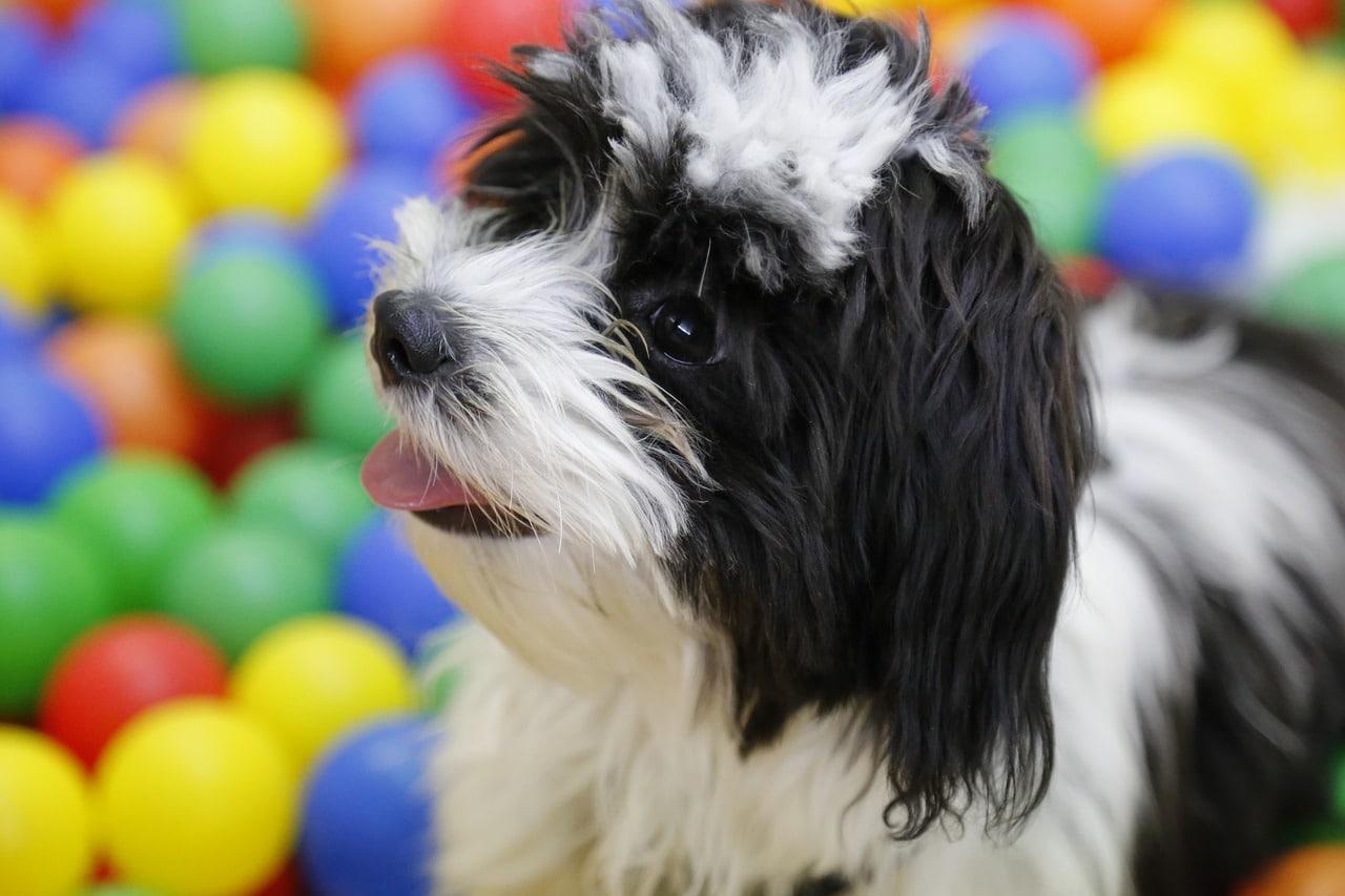dog, puppy, shih tzu