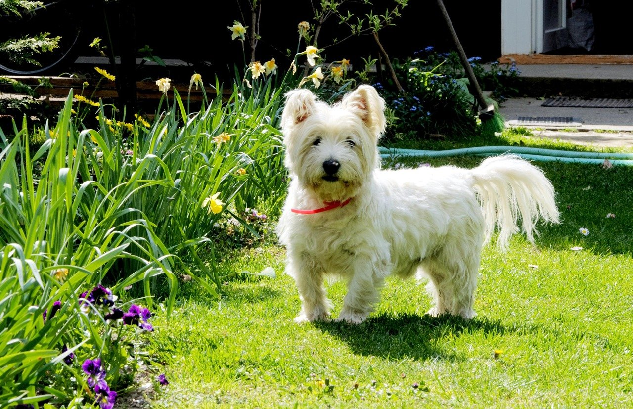 dog, west highland white terrier, pets