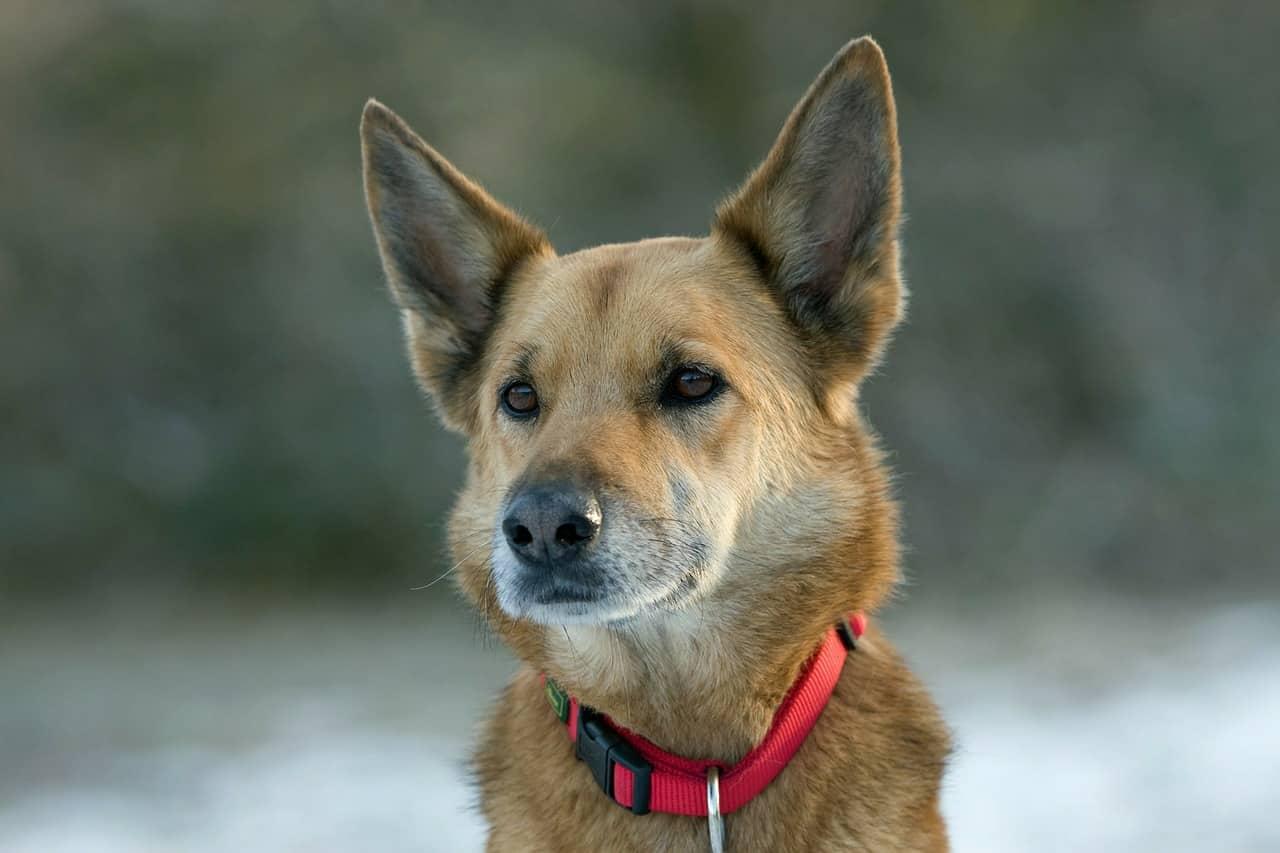 dog, crossbreed, mixed breed